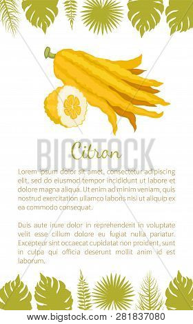 Citron Exotic Juicy Large Fragrant Citrus Fruit Vector Poster Text Sample And Palm Leaves. Tropical