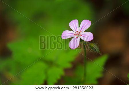Close Up Photo Of A Geranium Robertianum Flower