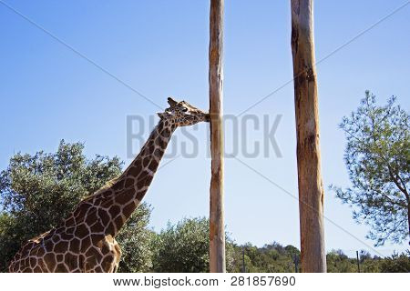 Giraffe Eating Bald Tree Without Bark In Zoo