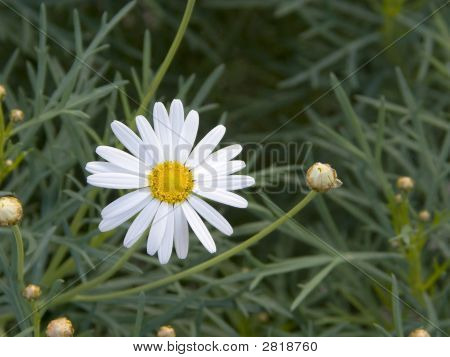 Daisy And very Little Buds In Green poster