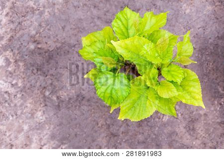 The Young Leaves Of The Young Mulberry Tree