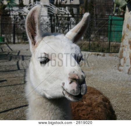 Lama Animal