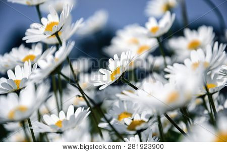 A Bunch Of Dasies In Summertime. White And Blue.