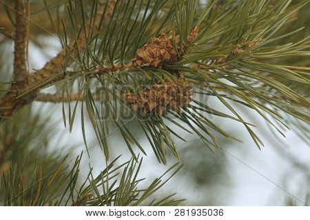 A Couple Of Pine Cones On A Long Needled Pine Tree In The  Middle Of Winter In Eastern North Dakota.
