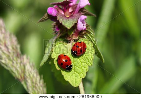 Close-up Ladybugs (ladybirds) On The Meadow Wildplant. Photography Of Nature And Wildlife.