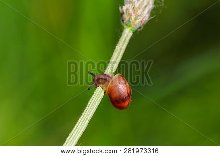 Close-up Of Snail On The Green Plant On The Meadow. Photography Of Nature And Wildlife.
