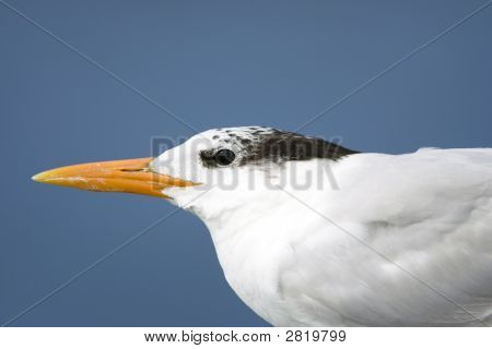 A close up head shot of an immature Royal Tern with winter plumage on a piling poster