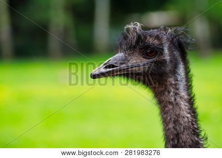 Close-up Of Australian Emu (dromaius Novaehollandiae), View Of An Emu's Head