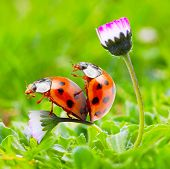Funny picture of love-making ladybugs couple on a daisy flower. Love metaphor. poster