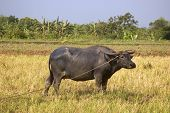 Water buffalo in ricefield under the hot summer sun poster