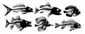 A set Skeleton of big predatory sea fish. poster