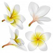 Frangipani (Plumeria). Hawaii, Bali (Indonesia), Shri-Lanka tropical necklace flowers. Vector Illustration poster