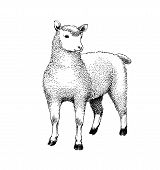 Pen and ink drawing of a sheep. poster