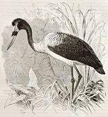 Saddle-billed Stork old illustration (Ephippiorhynchus senegalensis). Created by Kretschmer, published on Merveilles de la Nature, Bailliere et fils, Paris, ca. 1878 poster