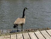 Canadian Goose on a pier by a river poster