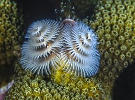 Spirobranchus Giganteus,christmas Tree Worms, Underwater Bonaire In The C