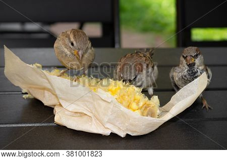 Three Sparrows Pecking Corn In Paper Packaging On The Table, Close-up.