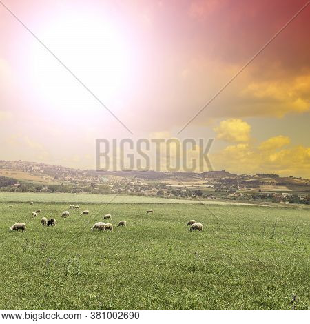 Grazing Sheep On The Sloping Meadows In Sicily. Sicilian Landscape At Sunrise, Hills, Fields, Flower