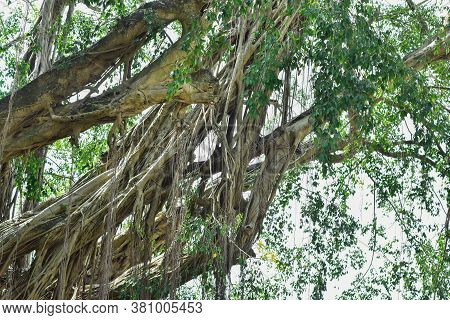 Big Tree Root In The Jungle Wild. Amazing Banyan Root In Deep Tropical Forest. A Old Tree Has Roots