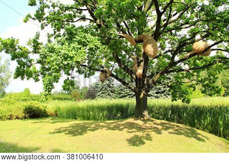 Large Oak Tree With Artificial Hornets Nests In Summer Park. Sprawling Oak Tree With Hornets Nest Ne