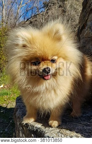 Adorable Cute Little Brown Pomeranian Little Dog. Standing On A Bench, Looking At The Camera And Smi