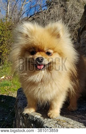 Adorable Cute Little Brown White Pomeranian Dog. Standing On A Bench, Looking At The Camera And Smil