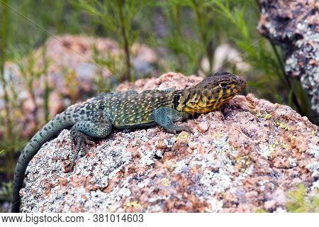 Collard Lizard On A Rock In Utah