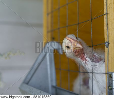 Interested In Something, The Broiler Chicken Looks Out Of The Cage. Funny Photo Of A Broiler.