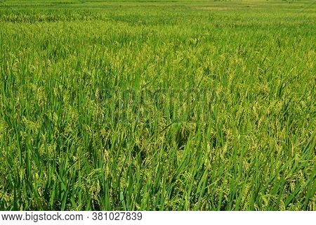 Yellow Paddy Grains With Green Paddy Plant Leaves Ready To Harvest On A Sunny Day