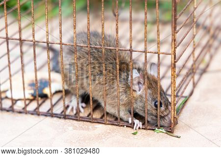 Closeup Of Panic Rat Mouse Caught In Rat Trap Cage