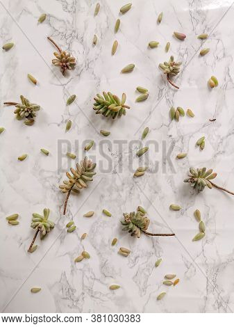 Sedum Rubrotinctum Or Jelly Bean Plant Cuttings For Propagation On A White Background