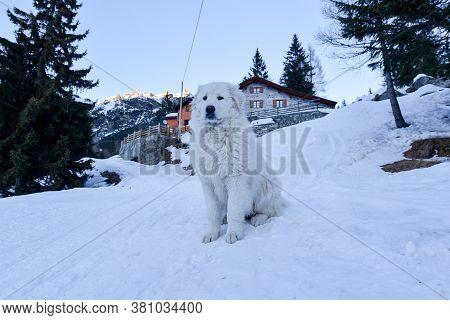 A Big Maremma Dog In The Snow