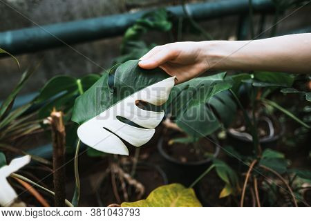 Variegated Monstera Deliciosa Leaves In Woman Gardener Hand, Half White, Half Green. Exotic House Pl