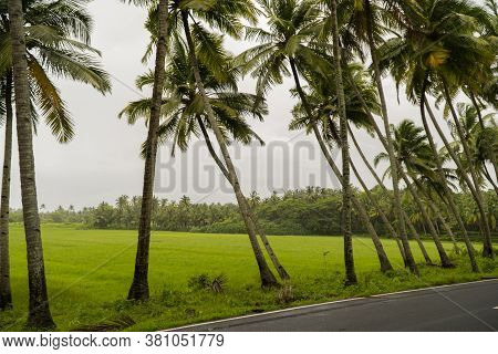 A Lovely Stretch Of Slanted And Straight Palm Trees Along A Village Road In Goa, India - Captured Du