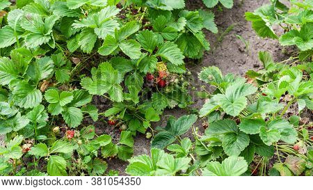 Strawberry Bushes Where Red Berry Lies On Ground. Growing Strawberries In Garden, Strawberry Bush Wi