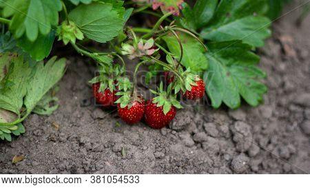 Many Strawberries Bush Where Red Berry Lies On Ground. Growing Strawberries In Garden, Strawberry Bu