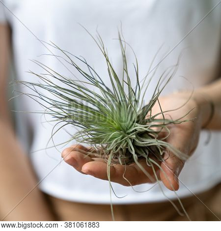 Woman Holding On Hand Air Plant Tillandsia - Plant That Does Not Require A Flower Pot