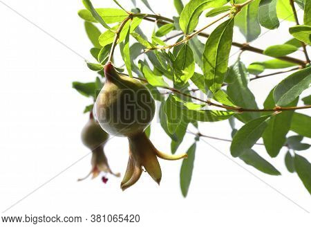 Closeup Of Two Ripe Green Pomegranate Fruits On Tree Branch On White Background, Selective Dof