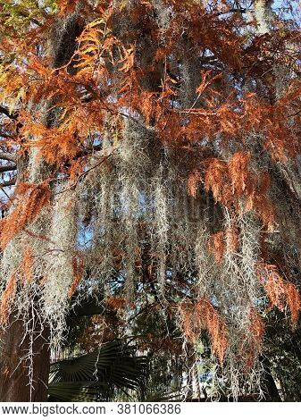 Detail Of Spanish Moss (tillandsia Usneoides) Veils Hanging From Southern Live Oak Trees Against A B