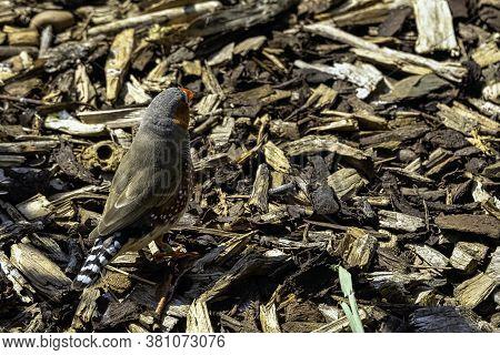 Zebra Finch (taeniopygia Guttata) - The Most Common Estrildid Finch Of Central Australia