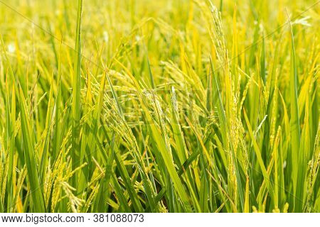 Beautiful Golden Light Over Rice Field. Close Up To Ear Of Rice Or Ear Of Paddy.