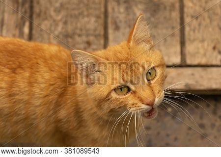 A Brown Cat Meowing And Wait Meows