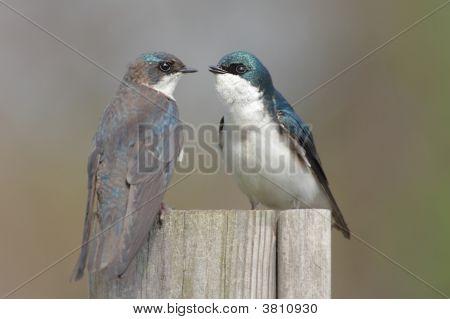 Pair of Tree Swallows (tachycineta bicolor) on a stump poster