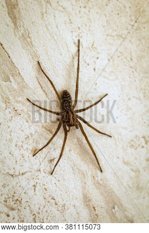 Close Up Of An Angle Spider, Angle Spiders Are An Invasive Species