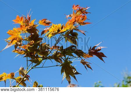Autumn Red And Yellow Mapple Leaves On A Blue Sky Background