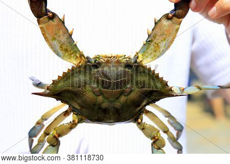 The Man Is Holding A Large Blue Crab Callinectes Sapidus With Big Claws. Crab Fishing, Gourmet Seafo