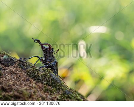 Majestic Male Stag Beetle, Lucanus Cervus, Big Insect On Old Tree Trunk