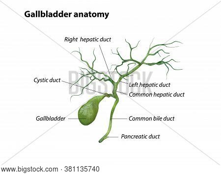 Gallbladder Anatomy Isolated On White Background, Pain, 3d Rendering