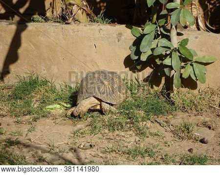 The Indian Star Tortoise Is A Threatened Species Of Tortoise Found In Dry Areas And Scrub Forest In