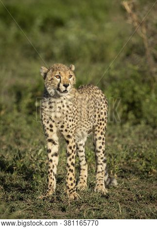 Vertical Portrait Of A Beautiful Juvenile Cheetah Looking Into The Sun Standing Amongst Green Bush I